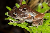 Librarian rain frogs mating