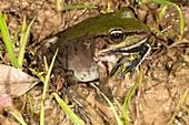 Large frog eating tree frog