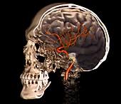 External carotid artery,3D CT scan