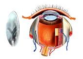 Contact lens and eye anatomy,artwork