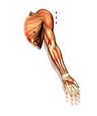 Shoulder and arm movement,artwork