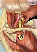 Left armpit nerve plexus,artwork