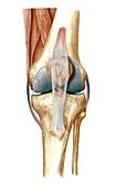 Knee bones and ligaments,artwork