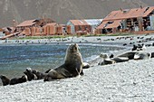 Fur seals by an abandoned whaling station