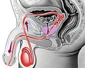 Male reproductive anatomy,artwork
