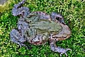 Common toads breeding