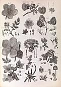 Botany illustrations,1823