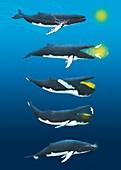 Blue whale feeding,artwork
