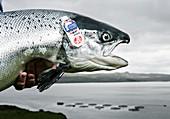 "Fresh salmon ""label rouge"""