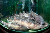 Live bamboo sharks for sale