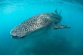 Injured whale shark