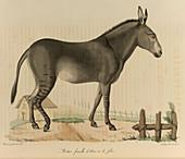 A cross between an ass or donkey and a ze