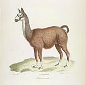 A male llama