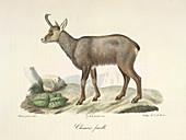 A chamois goat-antelope