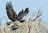 Martial Eagle in flight with prey