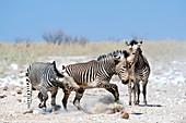 Hartmann's Mountain Zebra Dueling