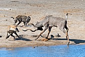 Spotted Hyenas confronting a Greater Kudu