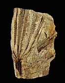 Neuropteridium tree fern fossil