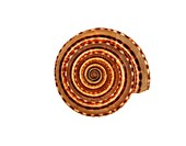 Sundial sea snail shell