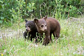 American black bear cubs