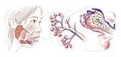 Salivary gland anatomy,artwork