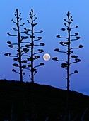 Full Moon and agave trees