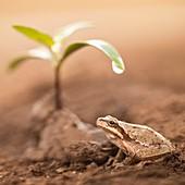 Middle East tree frog,(Hyla savignyi)