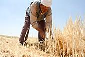 Manual wheat harvesting