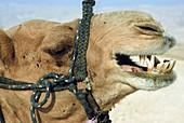 Closeup of a camel
