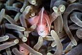 Pink anemonefish and tongue parasite
