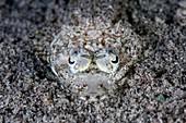 Camouflaged flathead fish