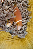 Blackfooted anemonefish in the Maldives