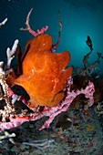 Giant frogfish on reef