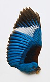 Blue feathers from a Kingfishers wing