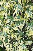 Abutilon x hybridum Savitzii