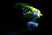 Giant moray eel fluorescing