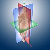Anatomical orientation planes,artwork