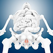 Prostate gland,artwork