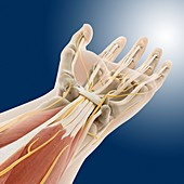 Carpal tunnel wrist anatomy,artwork