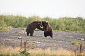 Brown bears playfighting,Alaska,USA