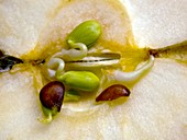 Sprouting apple seeds