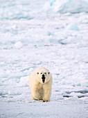 Polar bear walking on a ice floe