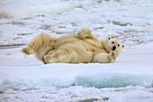 Polar bear rolling on pack ice
