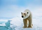 Close up of a standing polar bear