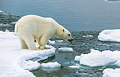 Polar bear standing on a ice floe