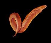 C. elegans worm,SEM