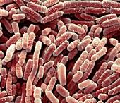 Lactobacillus bacteria,SEM