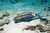 Dash-and-dot goatfish