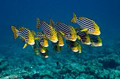 Oriental sweetlips fish