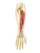 Deep muscles of forearm,artwork
